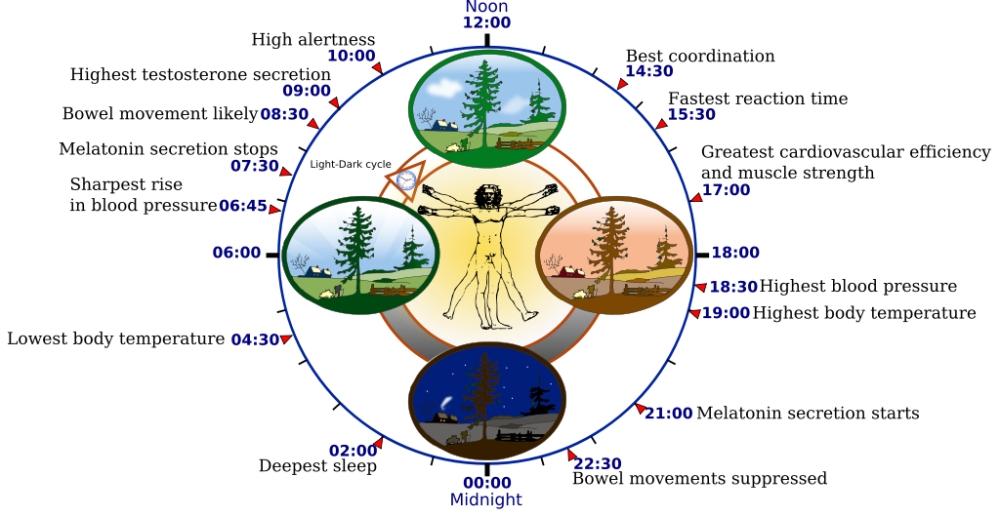 1024px-Biological_clock_human