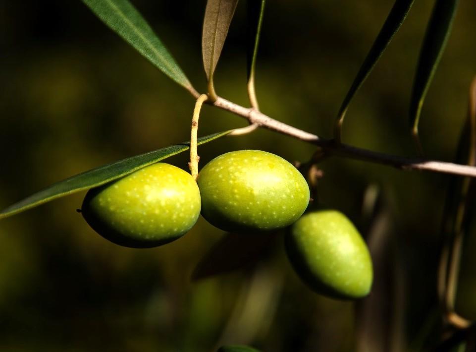 olives_olivier_close_up_agriculture_provence_eat_mediterranean_south-1377464.jpg!d